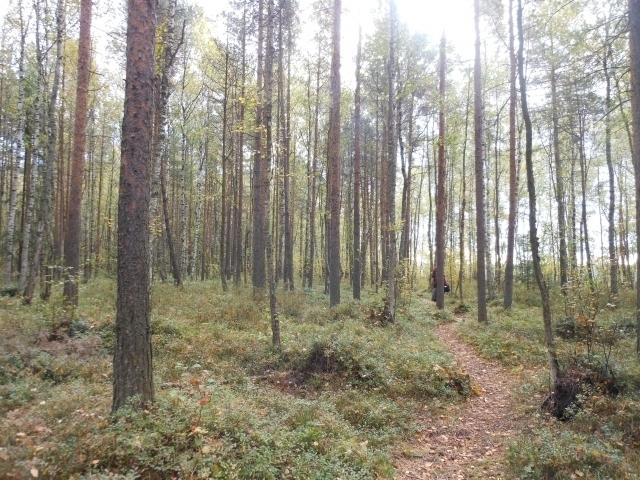 フィンランドの森.jpg